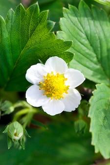 Jeden biały kwiat truskawki sfotografowany z bliska podczas kwitnienia na polu uprawnym. mała głębia ostrości. zbliżenie, z naciskiem na kwiatostan