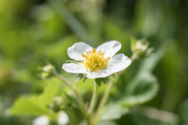 Jeden biały kwiat truskawki, victoria zakwitła na plantacji.