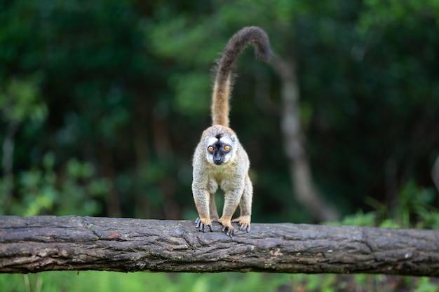 Jeden brązowy lemur stoi na pniu drzewa