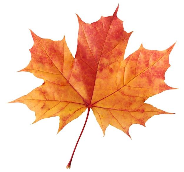 Jeden czerwono-pomarańczowy jesienny liść klonu.