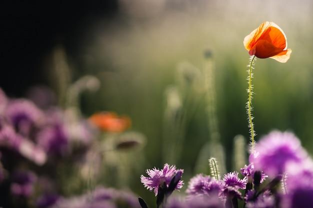 Jeden czerwony mały mak w promieniach słońca na zielonym ogrodzie z liliowymi goździkami w bokeh
