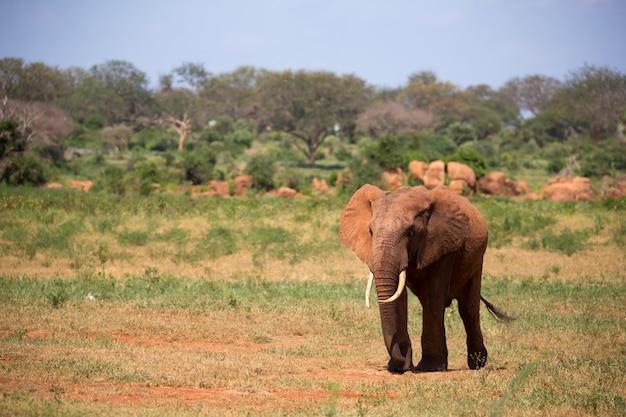 Jeden czerwony słoń spaceruje po sawannie kenii