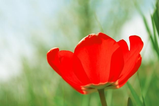 Jeden czerwony tulipan z otwartymi płatkami w ogrodzie