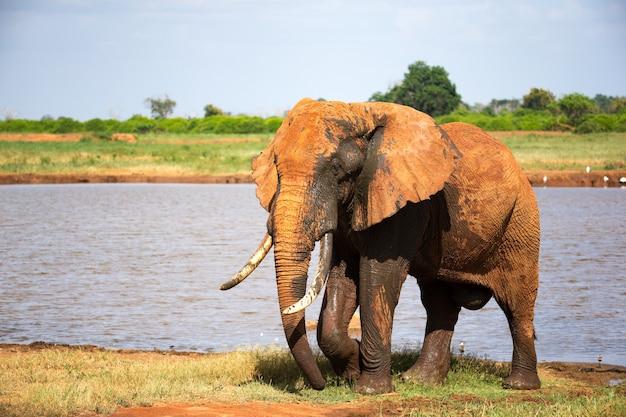 Jeden duży czerwony słoń po kąpieli w pobliżu wodopoju