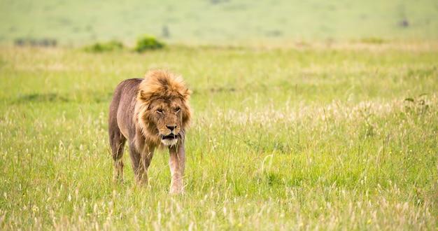 Jeden duży samiec lwa spaceruje po sawannie