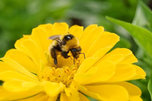 Jeden duży stary trzmiel zbiera pyłek z żółtego kwiatu cynia, zbliżenie, selektywna ostrość tła