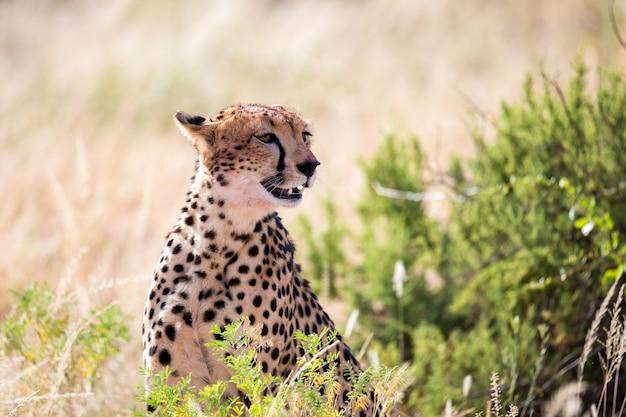 Jeden gepard w trawiastym krajobrazie między krzakami