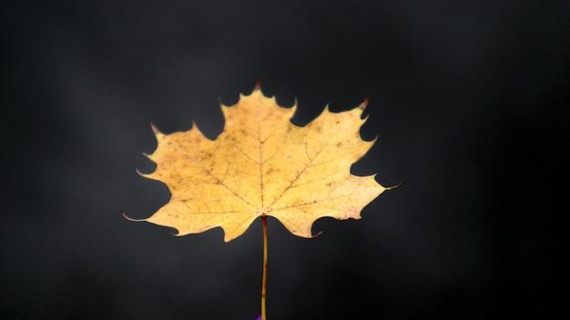 Jeden jesienny żółty liść klonu na ciemnym tle. pojęcie zmiany jesieni i pory roku. opadłe liście drzew.