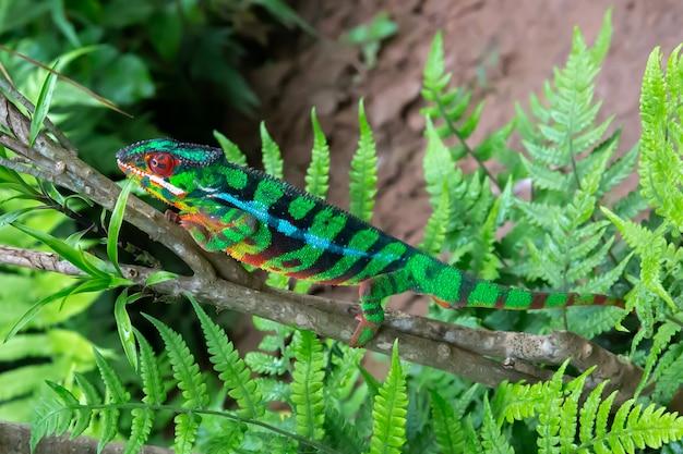 Jeden kameleon porusza się wzdłuż gałęzi w lesie deszczowym na madagaskarze
