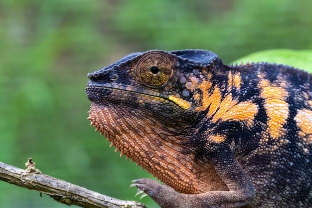 Jeden kameleon w zbliżeniu w parku narodowym na madagaskarze