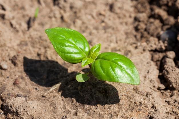 Jeden kiełek bazylii, który zaczyna rosnąć w glebie wiosną. zbliżenie pola
