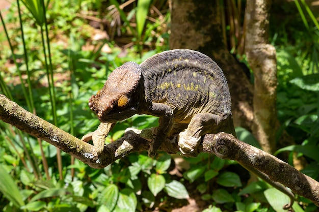 Jeden kolorowy kameleon na gałęzi w parku narodowym na wyspie madagaskar