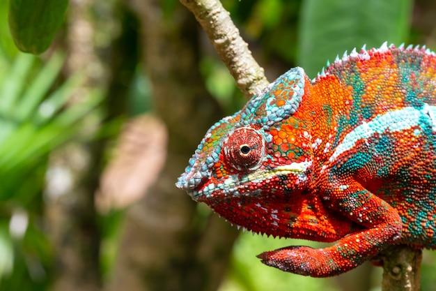 Jeden Kolorowy Kameleon Na Gałęzi W Parku Narodowym Na Wyspie Madagaskar Premium Zdjęcia
