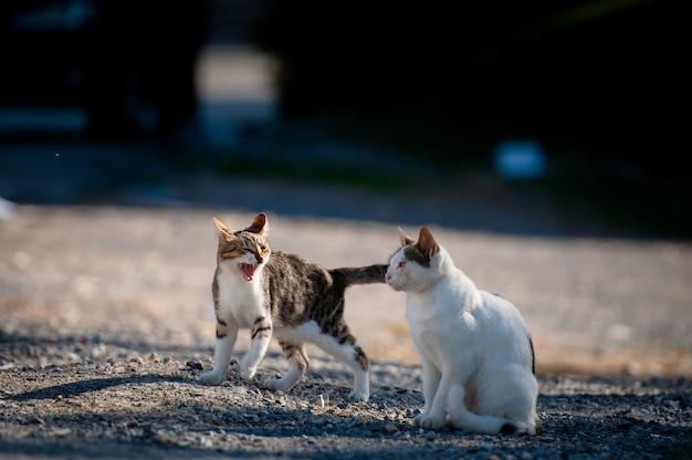 Jeden kot syczy na drugiego kota.