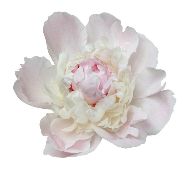 Jeden kwiat jasnoróżowej piwonii z bliska