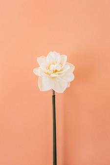 Jeden kwiat narcyza na tle koralowej brzoskwini. leżał na płasko.