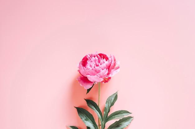 Jeden kwiat piwonii w pełnym rozkwicie żywym różowym kolorze na białym tle na blady róż