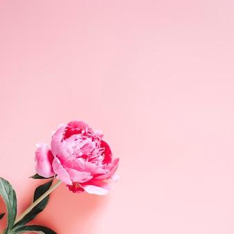 Jeden kwiat piwonii w pełnym rozkwicie żywym różowym kolorze na białym tle na jasnoróżowym tle. leżał płasko, widok z góry, miejsce na tekst. plac
