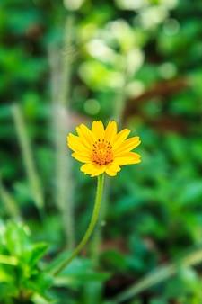 Jeden kwiat żółty pojedynczy