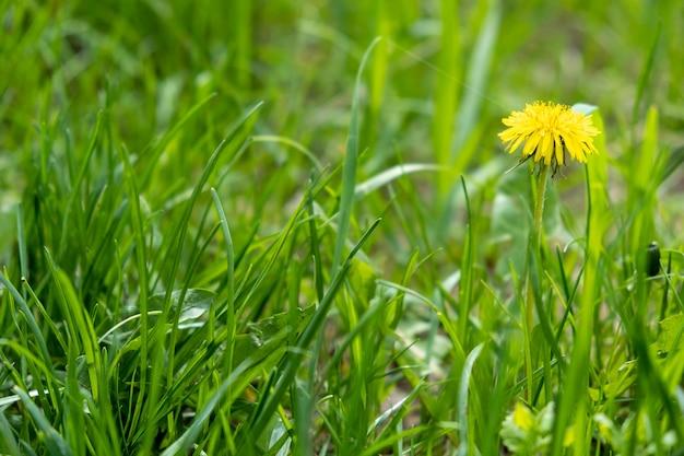 Jeden kwitnący mniszek lekarski w trawie, zielonym polu i jeden żółty mniszek lekarski, selektywne skupienie