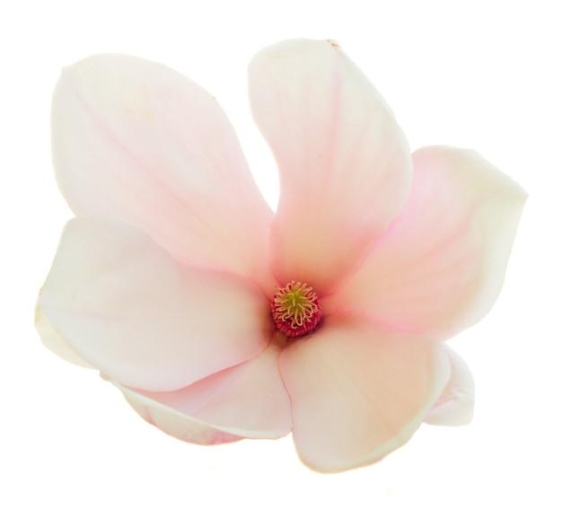 Jeden kwitnący różowy kwiat magnolii na białym tle