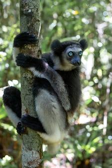 Jeden lemur indri na drzewie obserwuje odwiedzających park