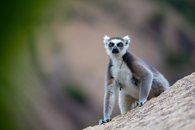 Jeden lemur katta na dużej kamiennej skale