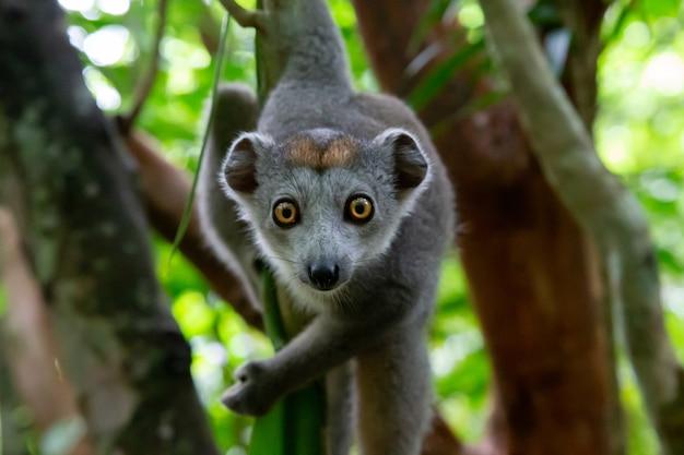 Jeden lemur koronny czołga się po gałęziach drzewa