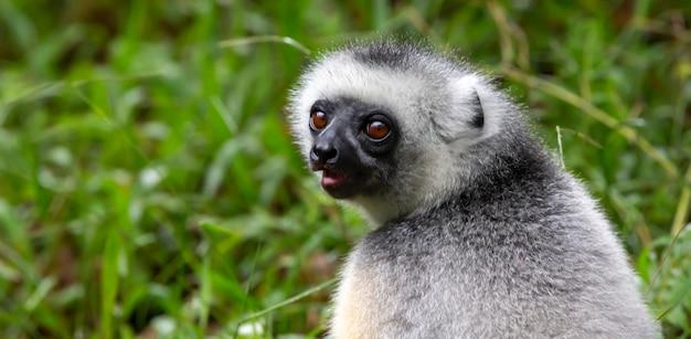 Jeden lemur sifaka siedzi na trawie i obserwuje, co dzieje się w okolicy