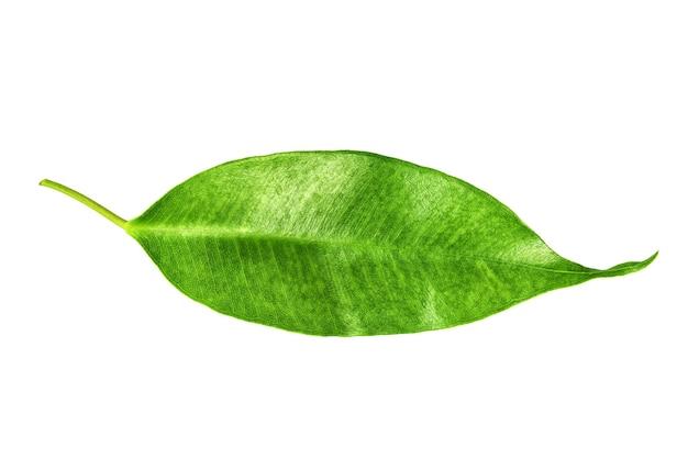 Jeden liść drzewa cytrusowego na białym tle