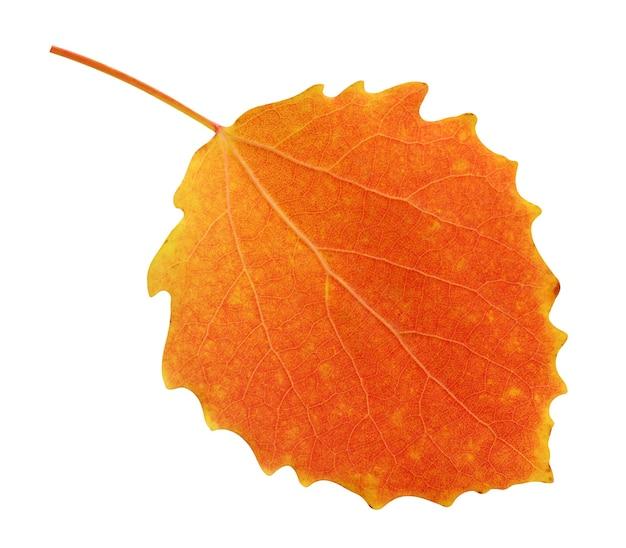 Jeden liść osiki jesienią na białym tle. jesienne pomarańczowe liście.