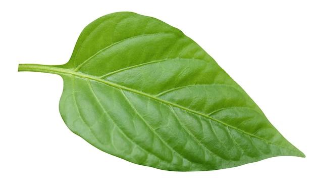 Jeden liść pieprzu na białym tle na białym tle ze ścieżką przycinającą. liście, zielnik. młode świeże zielone liście.