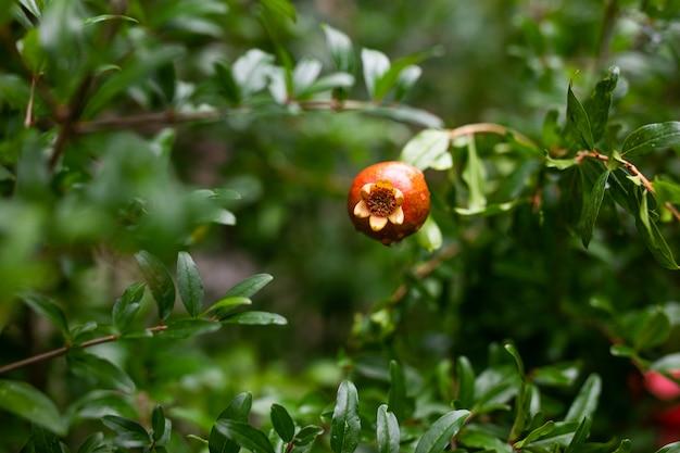 Jeden mały czerwony granat wiszący na gałęzi z zielonymi liśćmi. dojrzały granat rośnie na drzewie