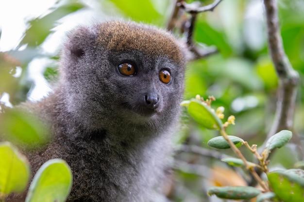 Jeden mały lemur na gałęzi drzewa w lesie deszczowym