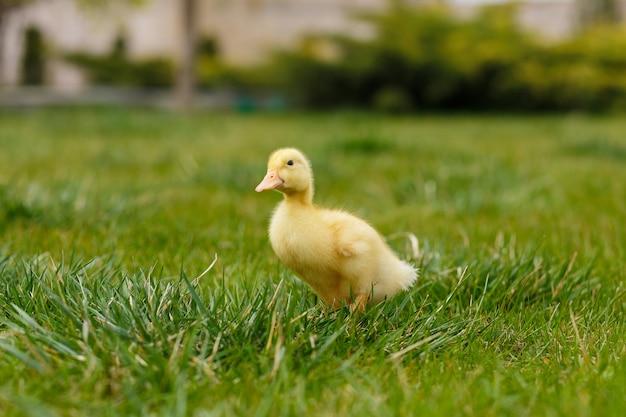 Jeden mały żółty kaczątko na zielonej trawie.