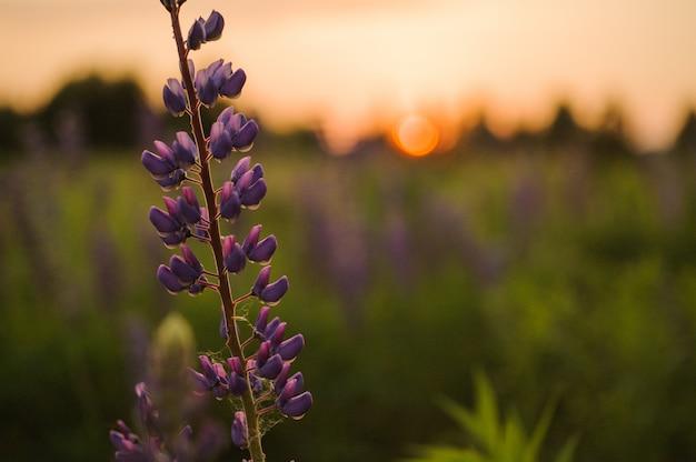 Jeden piękny kwiat łubinu w polu trawy