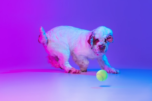 Jeden pies biały ociężale biegający na białym tle nad gradientowym tłem studyjnym w filtrze światła neonowego