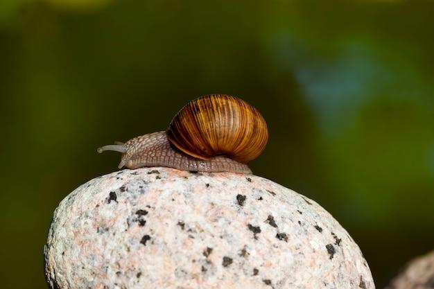 Jeden pospolity dziki ślimak pełzający po skałach i oświetlony światłem słonecznym, słoneczna pogoda latem lub wiosną oraz ślimak winogronowy pełzający po jego terytorium