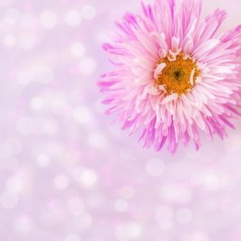 Jeden różowy aster z bliska z bokeh miejsce na kartkę z życzeniami