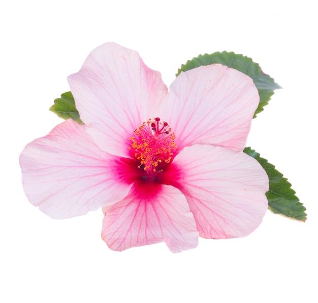Jeden różowy kwiat hibiskusa z liśćmi na białym tle
