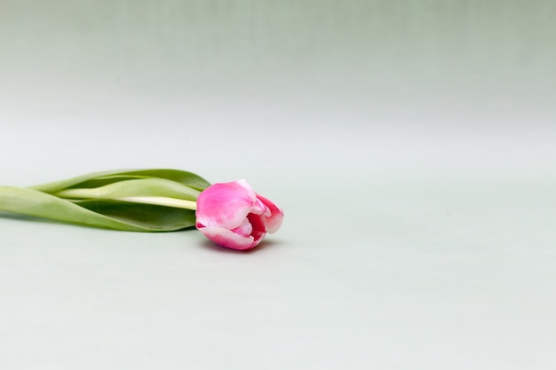 Jeden różowy tulipan na jasnozielonym tle