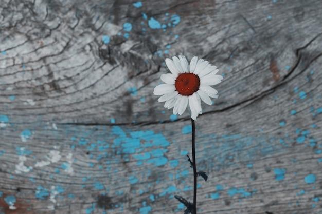 Jeden rumianku pola kwiat na roczniku drewnianym, copyspace
