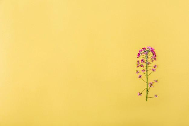 Jeden sprasowany suszony różowy kwiat na żółtym tle. płaska świecka, makieta kompozycja na pocztówkę, zaproszenie. skopiuj miejsce na tekst. zielnik, kwiatowy tło