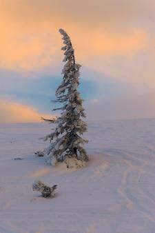 Jeden świerk na ośnieżonej górze o zachodzie słońca. piękny zimowy krajobraz.