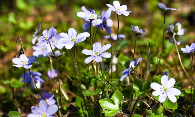 Jeden z pierwszych niebieskich kwiatów, pojawiający się po zimie