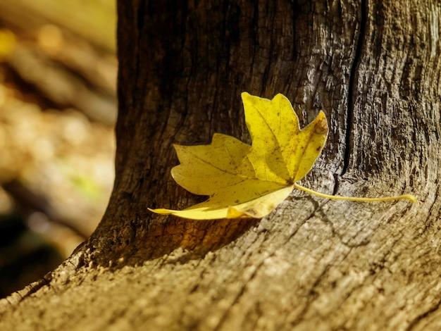 Jeden żółty liść kłama samotnie na drzewnym bagażniku, jesieni pojęcie