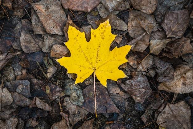 Jeden żółty liść klonu leży na innych zgniłych liściach