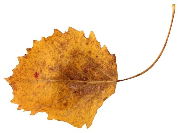 Jeden żółty liść osiki na białym tle. jesienne liście, zielnik.