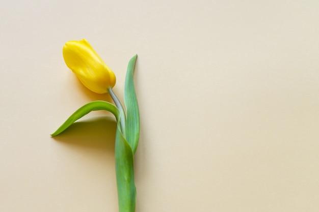 Jeden żółty tulipan na żółtym tle