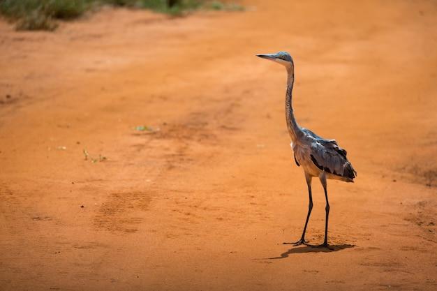 Jeden żuraw stoi na czerwonej ziemi na sawannie